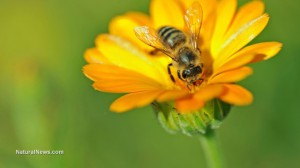Honey-Bee-On-Flower-Pollin (2)