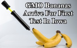 gmo_banana_bluebg